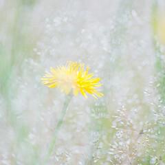 はじめてフォト投稿/きいろ/花 道ばたに輝く黄色に心打たれました。(1枚目)