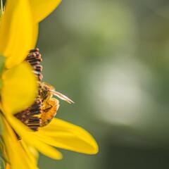 おでかけワンショット/ひまわり/ヒマワリ/花/蜂 生きてるって体全体で伝えてくれました!