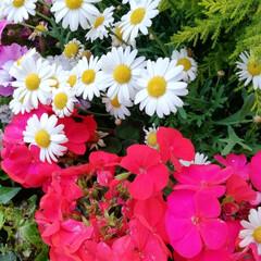おしゃれ スーパー前の花壇が綺麗だったので撮りまし…(3枚目)