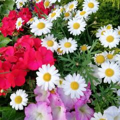おしゃれ スーパー前の花壇が綺麗だったので撮りまし…(1枚目)