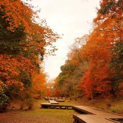秋/紅葉/紅葉ロード/はじめてフォト投稿 時期外れだけど…  秋真っ盛り。