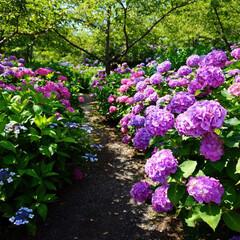 紫陽花/アジサイ/色とりどり/はじめてフォト投稿 紫陽花ロード。