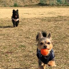 愛犬/ボール遊び/ドッグラン/仲良し/うちの子自慢 ドッグランで2人仲良くボール遊びをしてい…