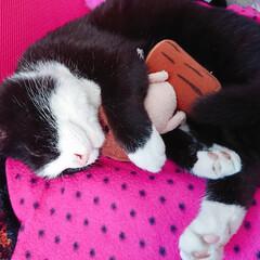 猫/猫派/猫部/飼い猫/可愛い ぬいぐるみを抱いて寝てる…  やっぱり癒…