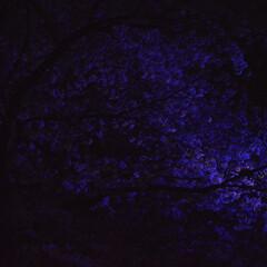 桜/祭り/ピンクではなく青紫/わたしのお気に入り 目黒川桜祭り