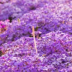 芝桜/風景/春/桜/絶景/わたしのお気に入り ピンクの芝桜に立派に咲くつくしんぼ