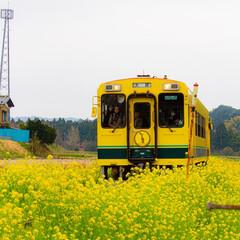 ムーミン列車/いすみ鉄道/電車/菜の花/菜の花畑/春/... 菜の花を走る颯爽と走るムーミン列車