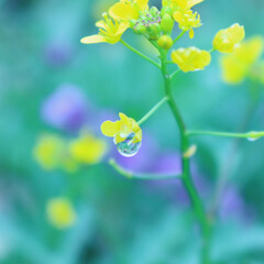 おでかけワンショット/菜の花/雫/雨 雫が綺麗でした!