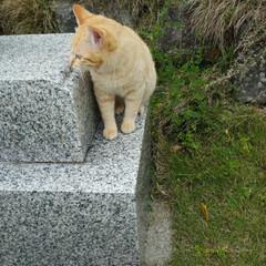 ねこさん/旅行/はじめてフォト投稿 福岡の神社で見つけた美猫さん☺️