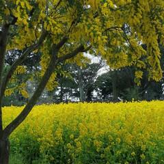 黄色/花畑/おでかけワンショット 黄色黄色、曇り空でしたが、きれいでした!