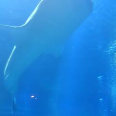 ブルー 海遊館🦈