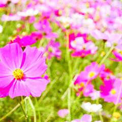 コスモス/能古島/わたしのお気に入り お気に入りの花 コスモス 一面に咲く