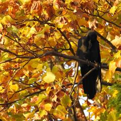 秋/鳥/紅葉/カラス/はじめてフォト投稿 今のカメラを買って、最初の頃撮影した写真…