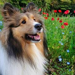 犬/シェルティ/シェットランド・シープドッグ/牧羊犬/甘えん坊/dog/... どこまでも、ぴったりついて来てくれるうち…
