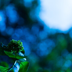 花/紫陽花/アジサイ/初夏/成長中/はじめてフォト投稿 僕の季節もそろそろだぁ~  まだ色づきの…