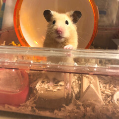 小動物/ペット/キンクマハムスター/キンクマ/可愛い/hamster/... 遊んで〜って待ってる❤️