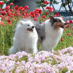ポピー/春/日本スピッツ/シェルティ/ブルーマール/可愛い/... 春らしい1枚を撮りたくて