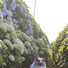 紫陽花/初夏/愛犬/シェルティ/梅雨/おでかけワンショット 今が季節の紫陽花を見に行ってきましたから