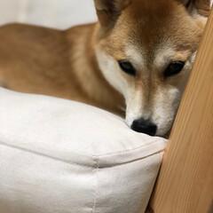 寝起きの顔/寝起き/柴犬/LIMIAペット同好会/LIMIA/limiaわんこ同好会/... 眠い…(´-ε-`)