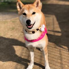 limiaわんこクラブ/LIMIAペット同好会/LIMIA/shibainu/しばいぬ/柴犬 SMILE♡(੭*ˊ꒳ˋ)੭♡