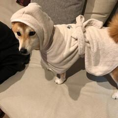 コスプレ/バスローブ/犬/shibainu/しばいぬ/柴犬/... 🛀🏻✨