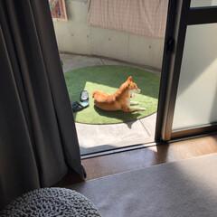 あくび/春/柴犬/LIMIA/limiaわんこクラブ/犬 春の陽気♡(( \(  ˙꒳˙  )…