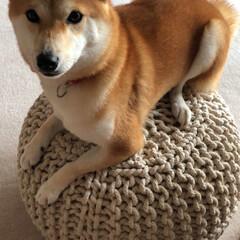 柴犬/犬/インテリア/体幹/体幹トレーニング/バランス/... バランスボール ならぬ バランスプフ ?…