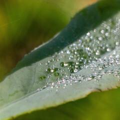 #わたしのお気に入り/水/液体/涙/水滴/滴/... 朝露が宝石のごとく輝き、わたしのお気に入…