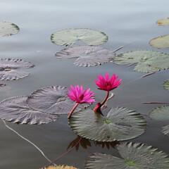 カンボジア/世界遺産/アンコールワット/蓮の花/花/はじめてフォト投稿 カンボジア アンコールワットの池に咲いた…