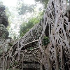 カンボジア/世界遺産/自然の力/アンコールワット/根/木/... カンボジア アンコールワット 自然の力の…