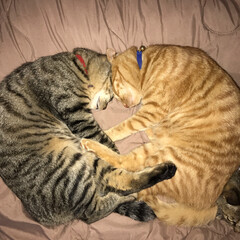 うちの子自慢/猫/兄弟/かわいい/大好き 兄弟ᓚᘏᗢ