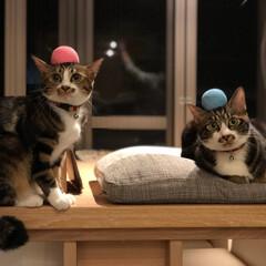 猫/兄妹/家族/わたしのお気に入り 名前は左がルナ、右がムーンです!メスオス…