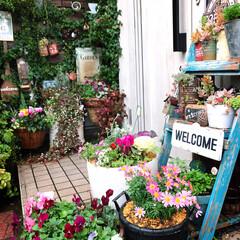 園芸雑貨/LIMIA/玄関前ガーデン/緑のある暮らし/花のある暮らし/寄せ植え/... 久しぶりにガーデニング🌺🌼 寄せ植えしま…