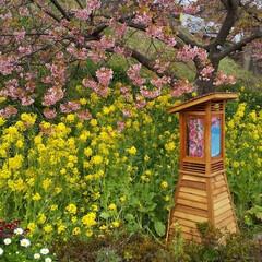 ピンク/葉桜/桜まつり/河津桜/ひな祭り/暮らし 本日 伊豆河津さくら祭りにちょこっとお邪…