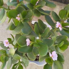 ベランダガーデン/さくら草/金のなる木/住まい/暮らし/ピンク ベランダのお金のなる木に桜草の花びらが落…