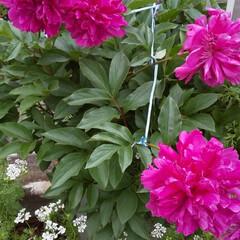 牡丹/暮らし/玄関あるある 色鮮やか‼️ 牡丹の花