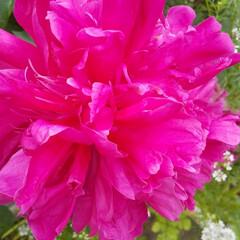 牡丹/暮らし/玄関あるある 色鮮やか‼️ 牡丹の花 (3枚目)