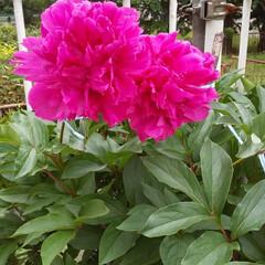 牡丹/暮らし/玄関あるある 色鮮やか‼️ 牡丹の花 (2枚目)