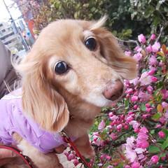 うちの子自慢/ミニチュアダックス/わんこ/犬/ペット/LIMIAペット/... お花とあたちとどっちが可愛いワン?