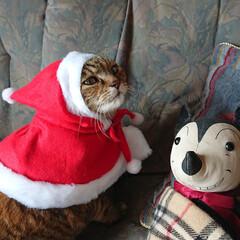 うちの子自慢/ねこ/にゃんこ/猫のいる生活/キジトラ/猫/... 毎年、コスプレをしています。 去年のクリ…
