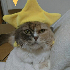 スコティッシュフォールドロングヘア/スコティッシュフォールド折れ耳/三毛猫/にゃんこ同好会/にゃんこ/猫/... 被り物マスターバクちゃん🐈  今日はお星…
