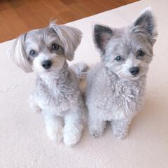 姉妹/可愛い/MIX犬/ミックス犬/チワワ/犬好き/... 散歩連れてってよ🎶
