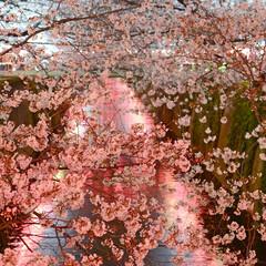 目黒川/桜/おでかけワンショット 目黒川の桜(3月29日撮影)(1枚目)