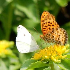 蝶/花/公園/おでかけワンショット 駒沢公園で蝶がデートしてました