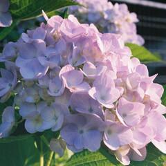 あじさい/夕日/わたしのお気に入り わたしのお気に入りの花を撮影したものです…