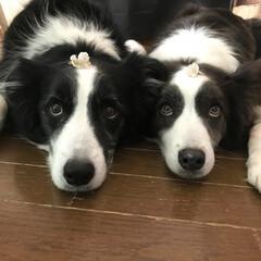 ボーダーコリー/仲良し姉妹 我が家に咲いたさくらんぼの花をのせて …
