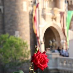 ディズニー/シンデレラ城/美女と野獣/薔薇/おでかけワンショット 一輪のバラとシンデレラ城🌹 美女と野獣を…