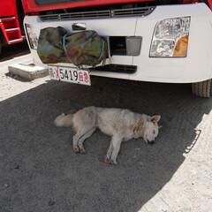 おでかけワンショット/桑耶寺/チベット 車の影でお休み中(チベット・桑耶寺にて)