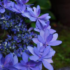 紫陽花/鎌倉/旅行/神奈川県/綺麗/花/... 鎌倉へ旅行に行った時に撮影した1枚です。…