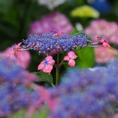 紫陽花/アジサイ/あじさい/梅雨入り/ガクアジサイ/おでかけワンショット 県内で催された、紫陽花まつりへ。